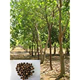 Precious Indian Sandalwood Santalum Album Chandan Tree 25 Seeds