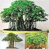 Schefflera Hawaiian Umbrella Tree SEEDS