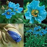 HEIRLOOM NON GMO Blue Himalayan Poppy 20 seeds
