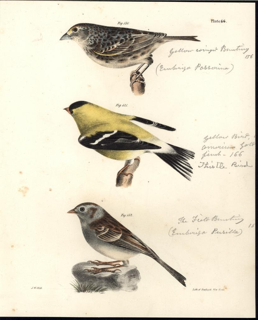 Goldfinch Yellow Winged Bunting 1842 antique color lithograph print