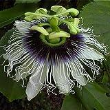 FD942 Exotic Passion Fruit Seed Purple Passiflora edulis Germination ± 95% 10PCs