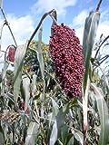 50 COLORED UPRIGHTS SORGHUM / BROOMCORN Sorghum Bicolor Grain Vegetable Seeds