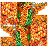 Sea Buckthorn or Seaberry ('Hippophae Rhamnoides') - 100 Medicinal Shrub Seeds
