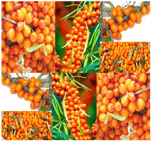 100 X Sea Buckthorn - Seaberry Sea Berry - Hippophae Rhamnoides Seeds - Zones 3 & Up - By Myseeds.Co