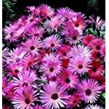 Mesembryanthemum Gelato Bright Red - 250 Seeds