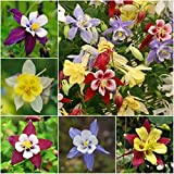 "Package of 500 Seeds, Columbine ""Giant Star Mckanas"" (Aquilegia caerulea) Non-GMO Seeds by Seed Needs"