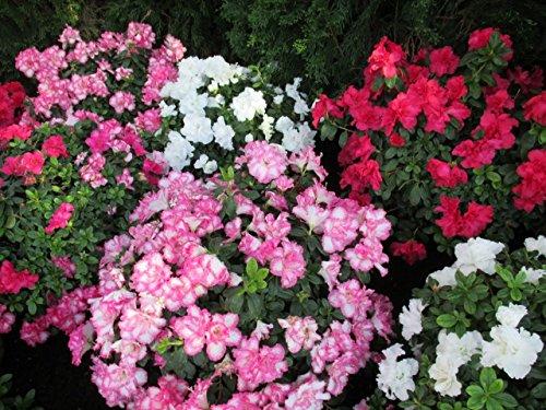 azalea-at-the-garden