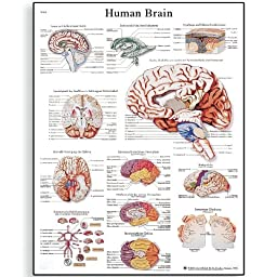3B Scientific VR1615UU Glossy Paper Human Brain Anatomical Chart, Poster Size 20\