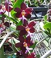Trichoglottis brachiata x self- Collectors item! Blooming size! Unique! Nice- Orchid Plant by Kawamoto orchid nursery
