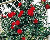 バラ苗 ウルメールムンスター 国産大苗6号スリット鉢 つるバラ(CL) 四季咲き 赤系