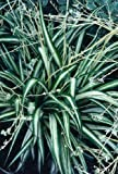 Chlorophytum Comosum - Spider Plant - Air Purifying Indoor House Plant (Green/White, Roughly 5cm - 15cm)