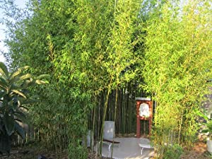 JAPANESE TIMBER BAMBOO Phyllostachys bambusoides 3 YEAR OLD MOTHER PLANT LARGE POT LOADED WITH CULMS, RHYZOMES AND ROOTS. PRUNED FOR SHIPPNG. JAPAN AND CHINA USE THIS BAMBOO FOR CONSTRUCTION, GARDENS, FENCES, MORE. READY TO PLANT IN YOUR GARDEN OR CONTAINER.. MAXIMUM SIZE: 50'-70' STRAIGHT AND TALL.