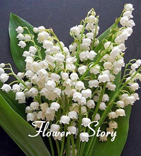 20-pezzi-giglio-della-valle-semi-di-fiori-semi-campana-di-orchidee-aroma-ricco-semi-di-bonsai-fiore-