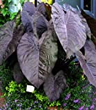 "Diamond Head Elephants Ear - Colocasia - 4"" Pot"