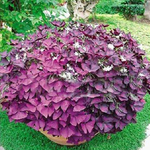 2-red-oxalis-corymbosa-ornamental-del-jardin-de-flor-de-semillas-plantas