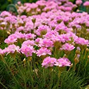 Miniature Fairy Garden Armeria juniperfolia, Thrift