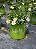 Rose Drift Popcorn, YELLOW and WHITE flowers, Disease Resistant, EASY to grow, Reblooms- Size: 1 gallon