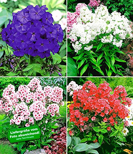 baldur garten duft phlox kollektion 6 knollen flammenblume winterharte stauden phlox panicula. Black Bedroom Furniture Sets. Home Design Ideas