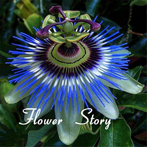 40-semi-frutto-della-passione-passiflora-caerulea-fresco-fragrante-fiore-enorme-fiore-scalatore-robu