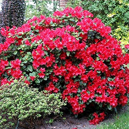 1-rhododendron-scarlet-wonder-evergreen-bushy-shrub-hardy-garden-plant-in-pot