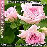 八重咲きゼラニウムミルフィーユローズ・3号苗