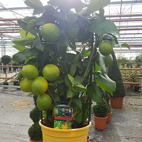 lemon-tree-with-lemons-8-10-green-fruits-per-plant-65cm-tall-planted-in-a-19cm-pot-beautiful-fruity-