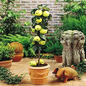 Mini Apple Tree Malus Yellow Spur - 1 tree