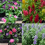 おまかせ花の苗9株セット(日々草 サルビア ポーチュラカ キンギョソウ ケイトウ アスター 他)5~9種類で出荷させていただきます。