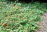 Formosa Carpet Raspberry - Hardy - Sweet & Juicy - Rubus calcynoides - Pint Pot