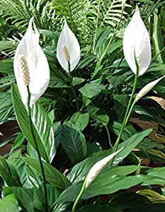 "Hirt's Peace Lily Plant - Spathyphyllium - Great House Plant - 4"" Pot"