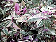 Rainbow Wandering Jew – 4″ Pot – Easy to Grow House Plant – Inch Plant