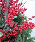 Sparkleberry Winterberry – Ilex – Vivid – Also a Great Bonsai!