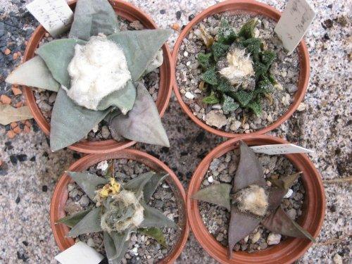 Ariocarpus Mix , 15 Samen Frische Ernte, Ariocarpus-Lophophora (Rar)
