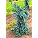 WEEPING COLORADO BLUE SPRUCE - Picea pungens 'The Blues' - 2 - YEAR PLANT