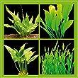Zoomeister - Kleines Pflanzenset f�r Barsch-Becken - 8 Bund Wasserpflanzen