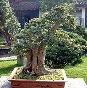 Japanese Pagoda Tree 10 Seeds - Sophora - Bonsai