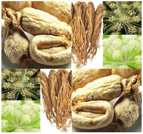 30 x Dong Quai aka Female Ginseng Seeds - Angelica sinensis Seed - MEDICINAL & CULINARY SPICE - Zones 7 and UP - By MySeeds.Co culinary calculations