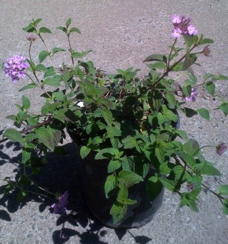 Lavender Lantana One Gallon Plant