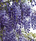 Wisteria floribunda Russelliana Japanese Wisteria - 3 Litre Pot - 1m Height