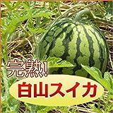 完熟『白山すいか』6kgアップ【Lサイズ】【発送:8/5~8/20】 ランキングお取り寄せ