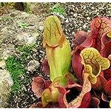 Sarracenia Carnivorous Pitcher Live Plant - 3