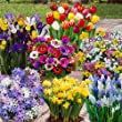 Complete Spring Flowering Bulb Collection (300 Pieces)