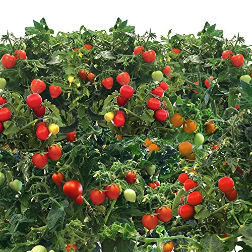 Mighty Mini Tomato Seed Pod Kit for Aerogarden (9-pod) (Aerogarden Seed Kit Tomato compare prices)
