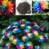 Rainbow Chrysanthemum Flower Seeds Rare Color Chrysanthemum Morifolium Seeds Flower Plant for DIY Home Garden 20