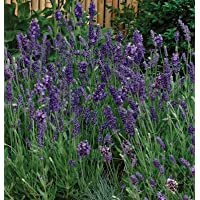 Herb Lavender Ellagance D72 (Purple) 50 Open Pollinated Seeds by David's Garden Seeds