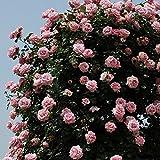 バラ苗 羽衣 国産新苗植え替え6号スリット鉢 つるバラ(CL) 四季咲き ピンク系