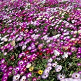 1 X PACK MESEMBRYANTHEMUM LIVINGSTONE DAISY MIXED FLOWER SEEDS GARDEN FLOWERS