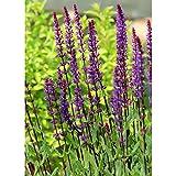 サルビア:ネモローサ カラドンナ裸苗袋詰め 2個セット[花茎まで黒紫色でシックな感じの宿根草の苗]