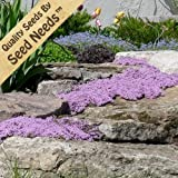 Lawn & Patio - 1,000 Seeds, Creeping Thyme Mother of Thyme (Thymus serpyllum) Seeds by Seed Needs