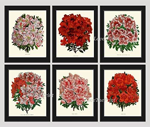 antique-botanical-print-set-of-6-antique-beautiful-flowers-large-azalea-flowering-shrub-garden-natur